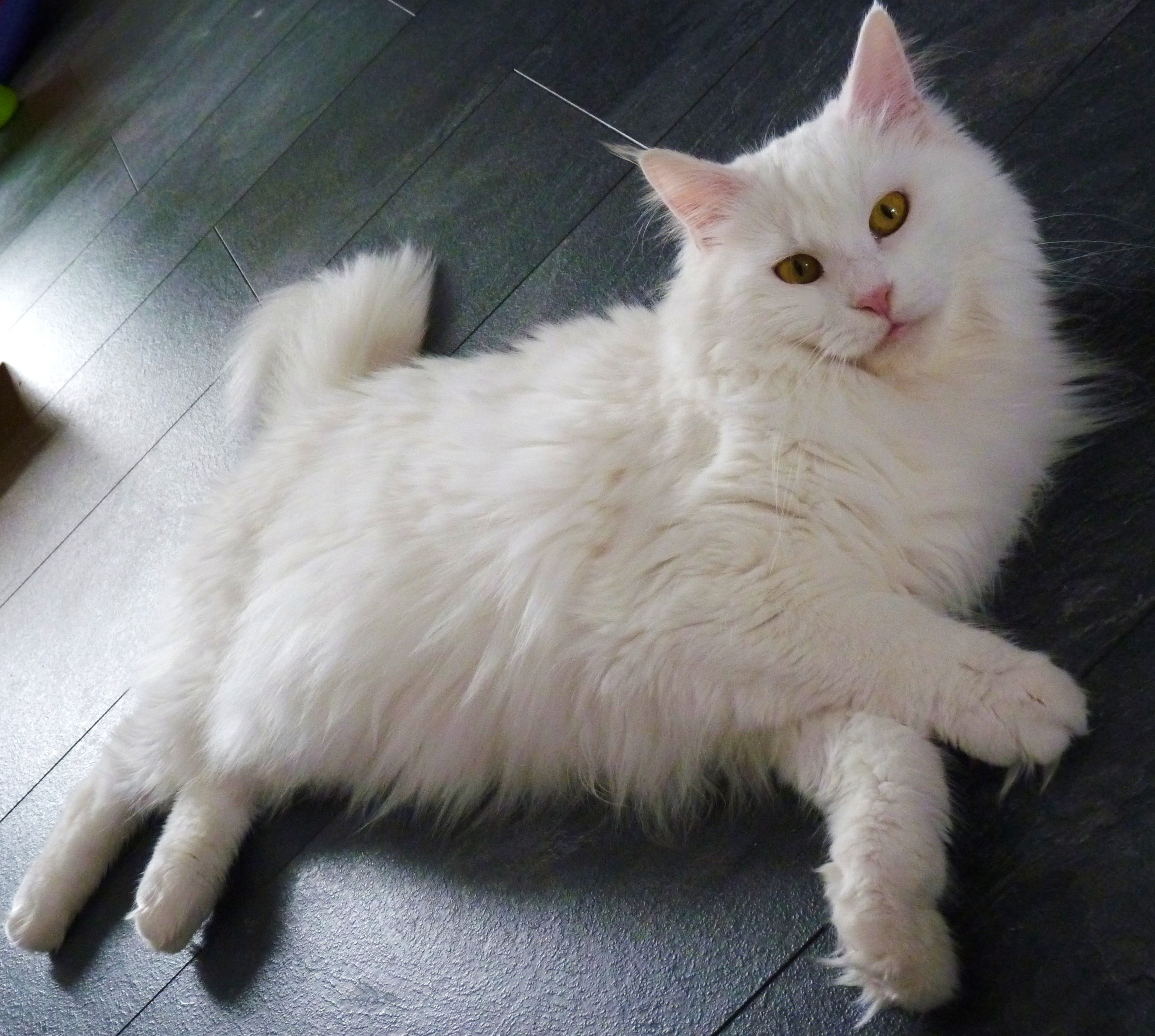 cat on the floor,Maine Coon